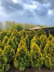 elupuu golden smaragd