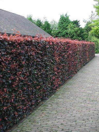 Elupuu Brabant