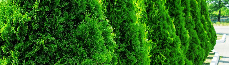 Smaragd elupuuhekk